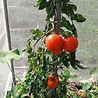 Pflanzstab Stahl verzinkt für Tomatenhaus